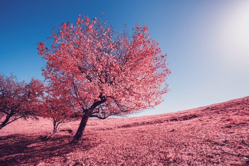 在小山倾斜的庄严单独桦树与晴朗的射线在mo 图库摄影