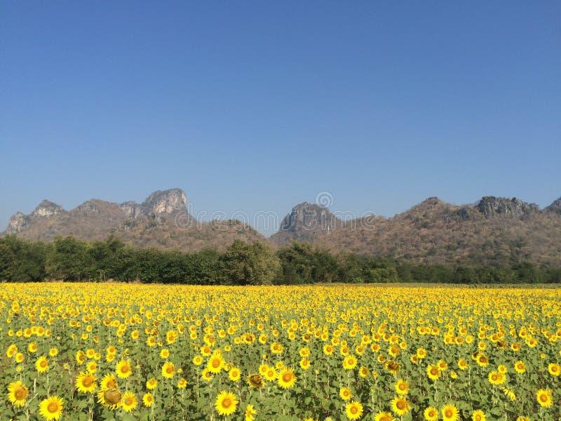 在小山前面的向日葵领域 库存图片