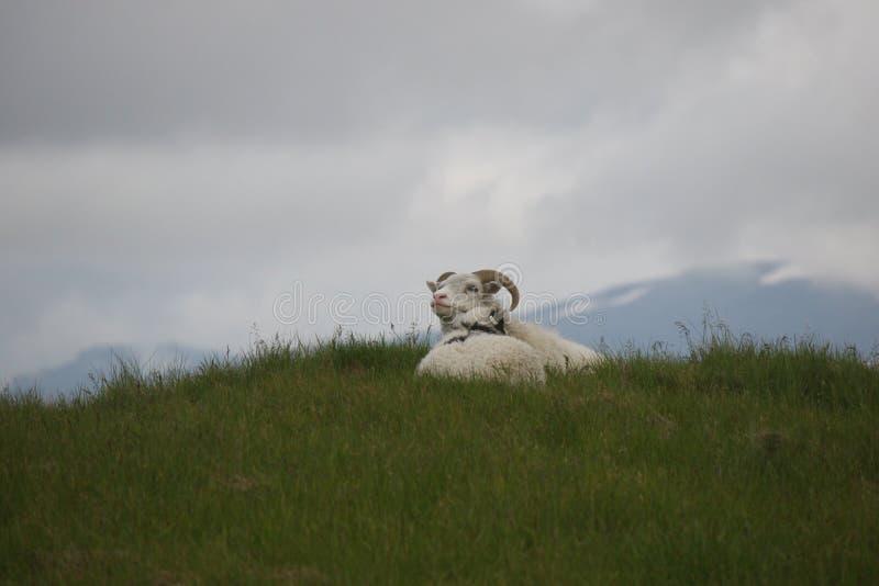 在小山栖息的两只绵羊在冰岛 免版税库存照片