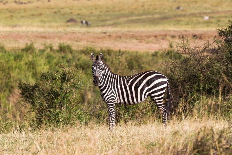 在小山的一匹斑马在大草原 肯尼亚mara马塞语 免版税库存照片