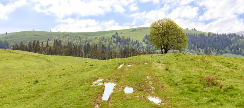 在小山的上面的一棵偏僻的树以一个美好的春天山风景为背景的在温暖的雨以后 库存照片