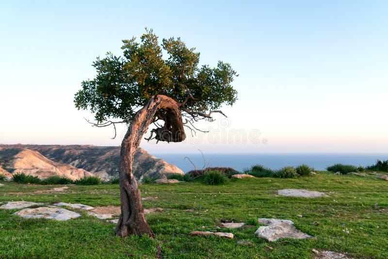 在小山的单独角豆树 免版税库存照片