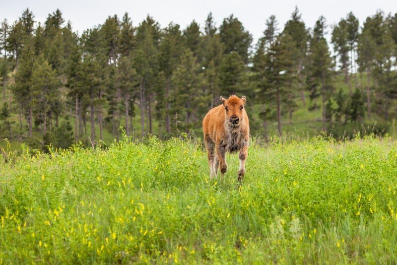 在小山的婴孩北美野牛 免版税图库摄影