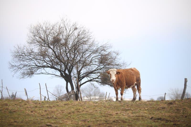 在小山的母牛 库存图片