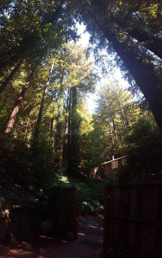 在小山的红木 免版税库存照片