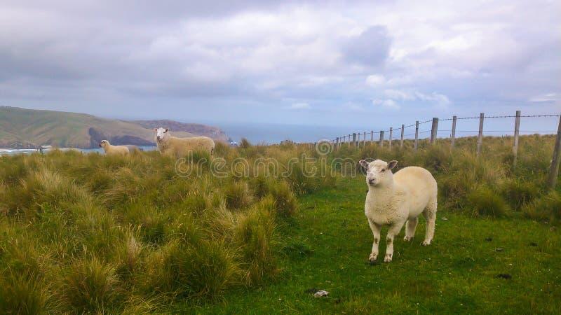 在小山的绵羊在新西兰 库存照片