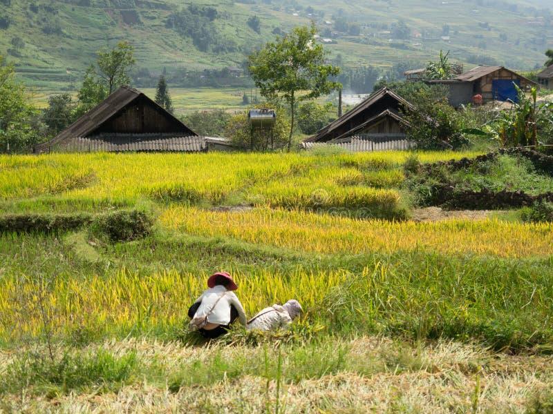 在小山的露台的米领域 库存图片