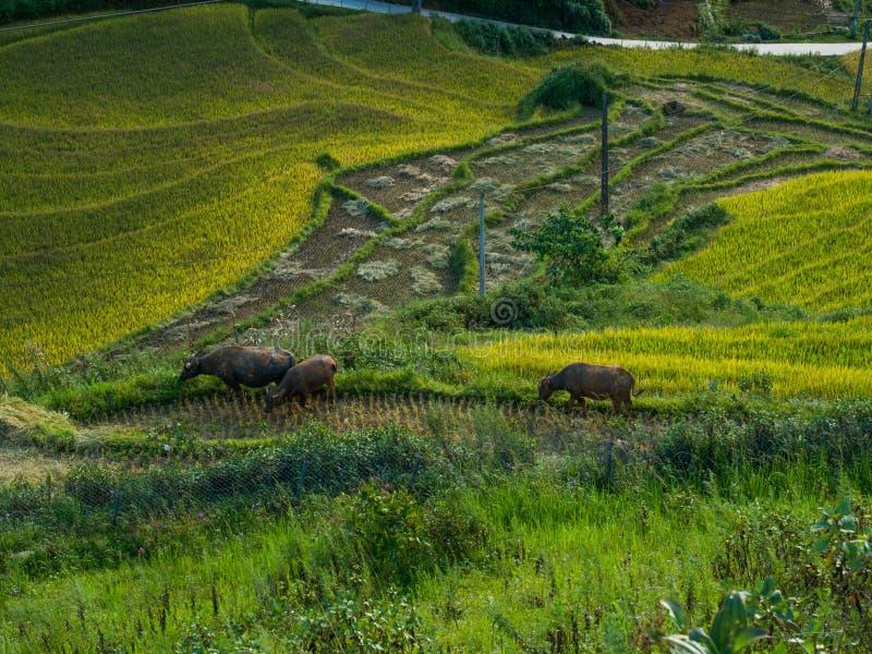 在小山的露台的米领域 免版税库存图片