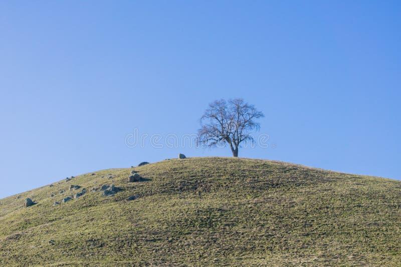 在小山顶部的偏僻的谷木树在天空蔚蓝背景,加利福尼亚 库存图片