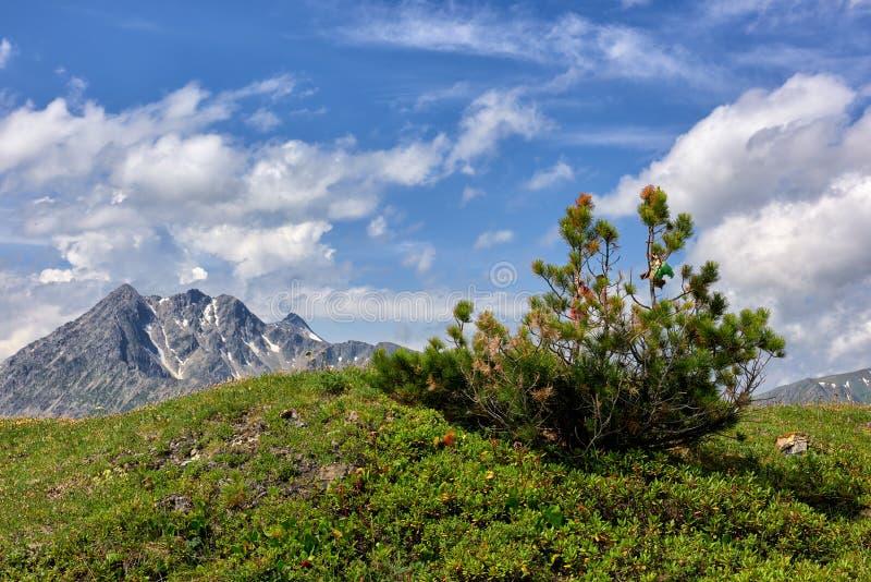 在小山顶部的松属pumila 免版税库存照片