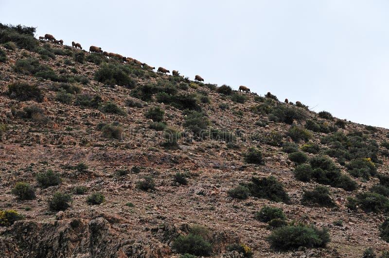 在小山顶部的绵羊 免版税库存图片