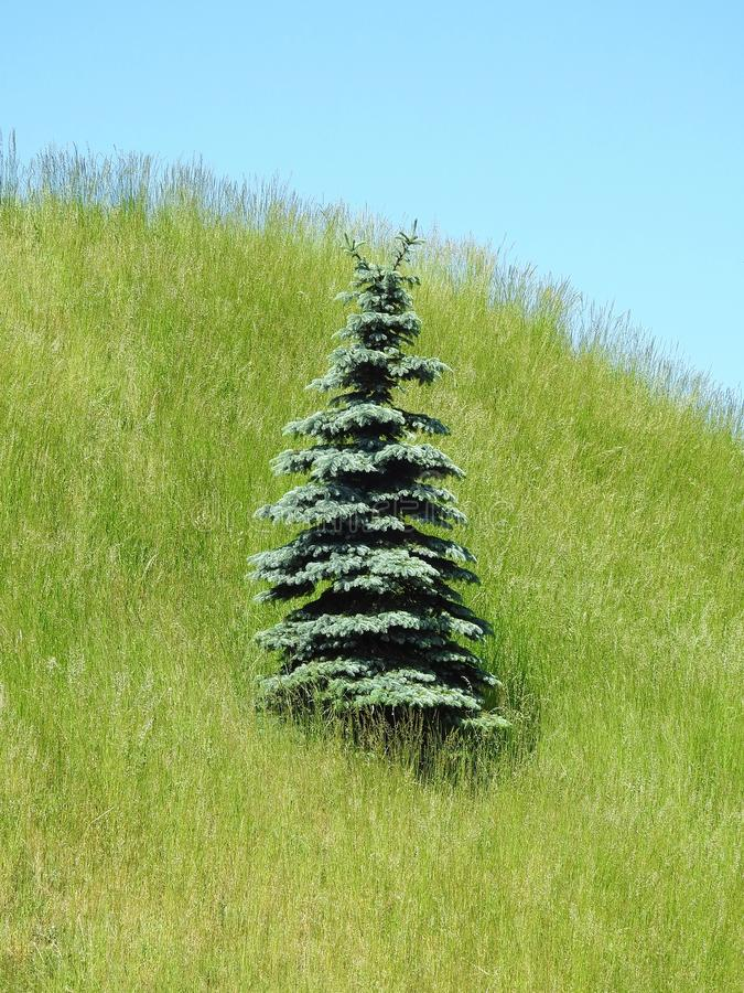 在小山,立陶宛的美丽的杉树 免版税图库摄影