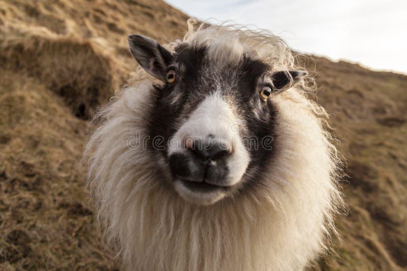 在小山l一边的友好的白色和黑冰岛绵羊 库存图片