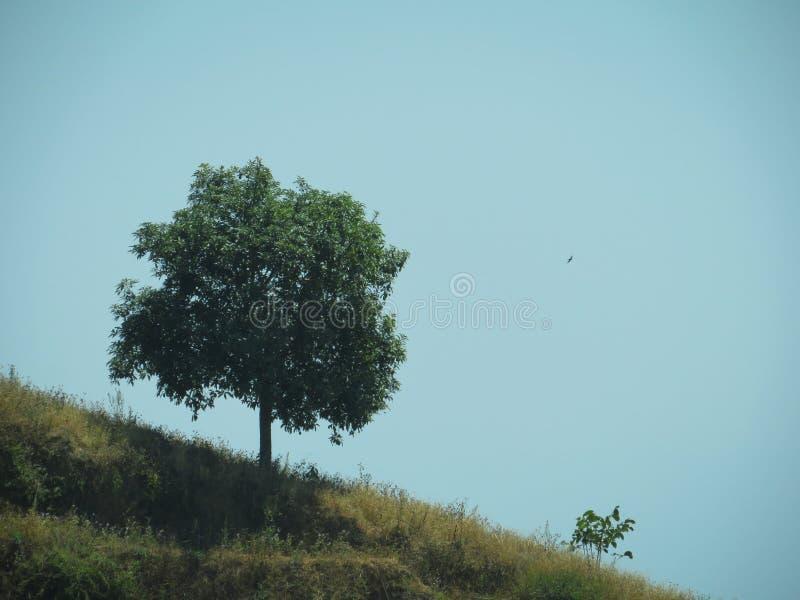 在小山MT的单独树 Ciremai印度尼西亚 免版税图库摄影