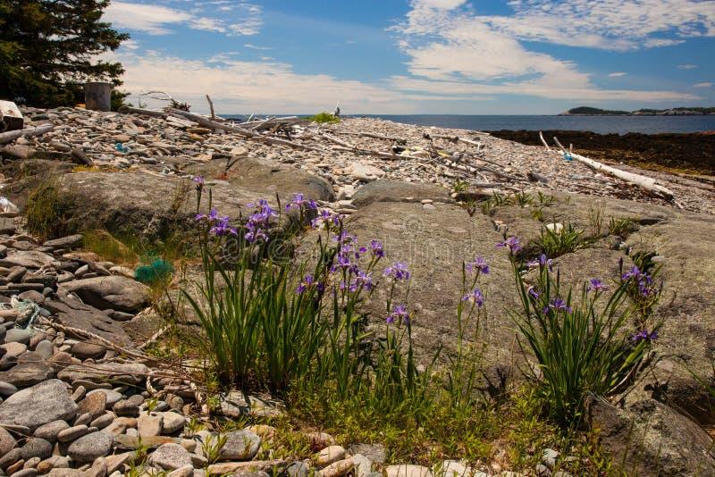 在小岛澳大利亚Haut,缅因的狂放的虹膜 免版税库存照片