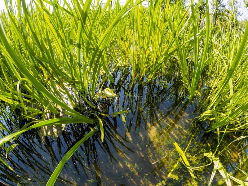 在小池塘附近的水多的绿草在好日子 免版税库存图片