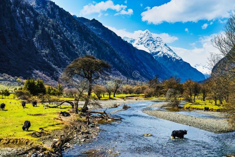在小河的牦牛 免版税库存图片