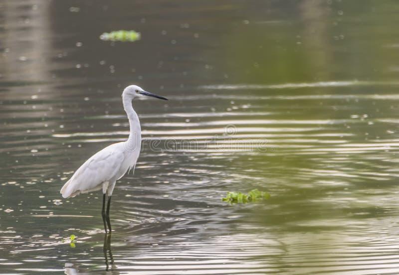 在小河背景的小白鹭-白鹭属garzetta 免版税库存图片