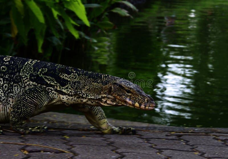 在小河附近的监控蜥蜴 免版税库存图片