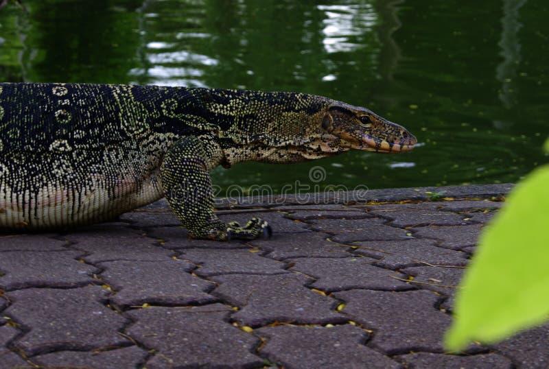 在小河附近的监控蜥蜴 库存图片