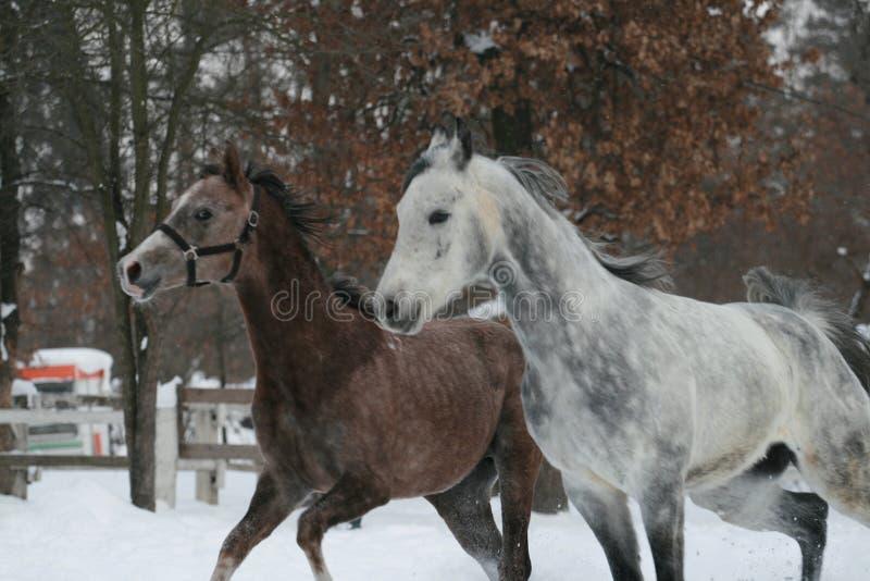 在小牧场跑的两匹阿拉伯马 免版税图库摄影