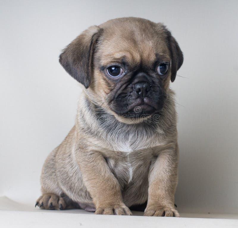 在小狗灰色背景的特写镜头画象看某事的一点puf小狗 免版税库存照片