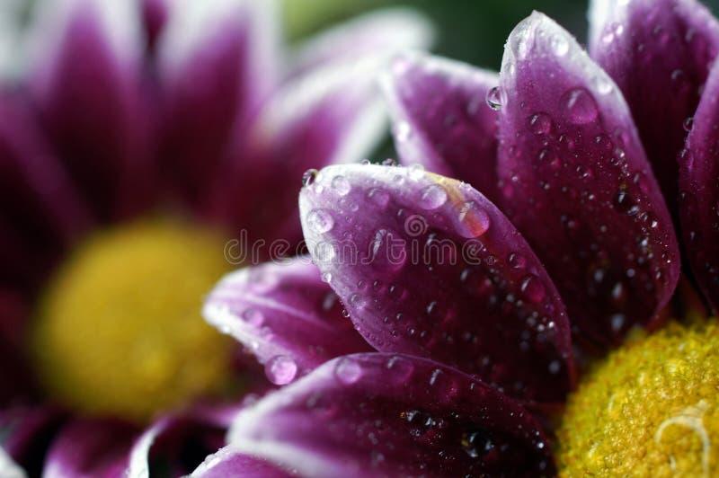 在小的大丽花瓣的水滴 库存照片