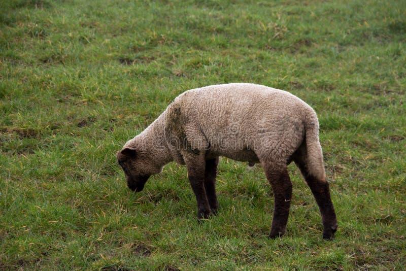 在小的白色和棕色绵羊饲料草的看法在一个草区域在rhede emsland德国的多云天空下 免版税库存照片