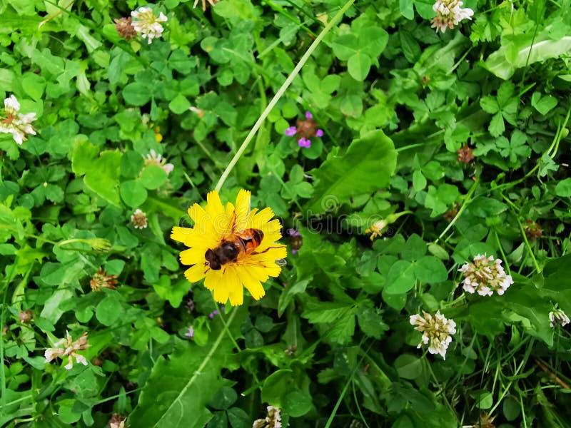 在小的黄色花的蜂 库存图片