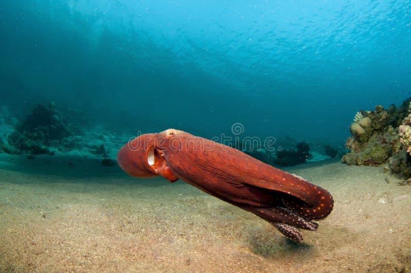 在小船章鱼红色之上 库存照片