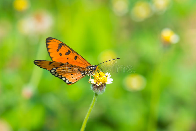 在小花的橙色蝴蝶 库存图片