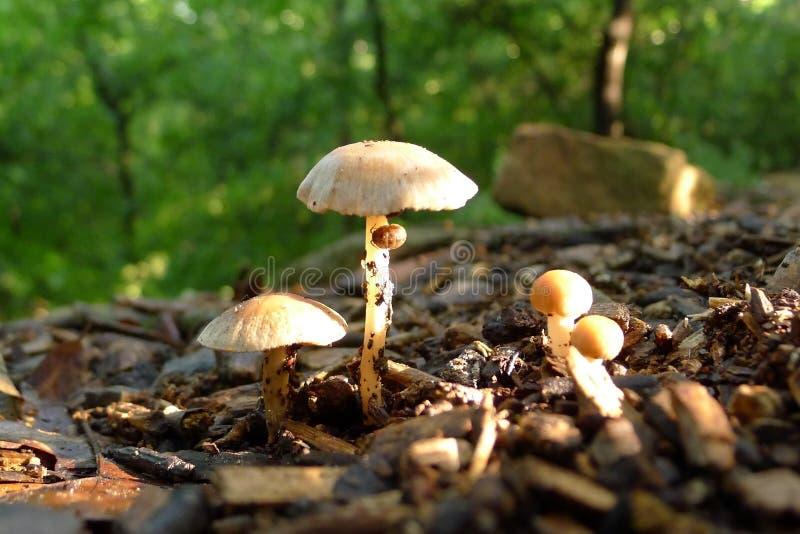 在小组的早晨太阳蘑菇 免版税库存照片