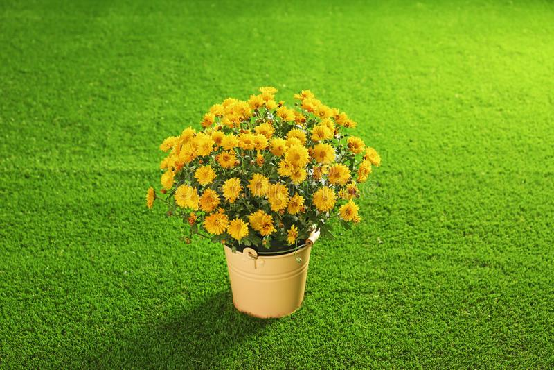 在小buckex的美丽的菊花花 库存图片