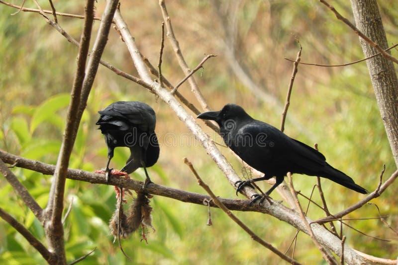 在尸体的乌鸦 免版税库存照片