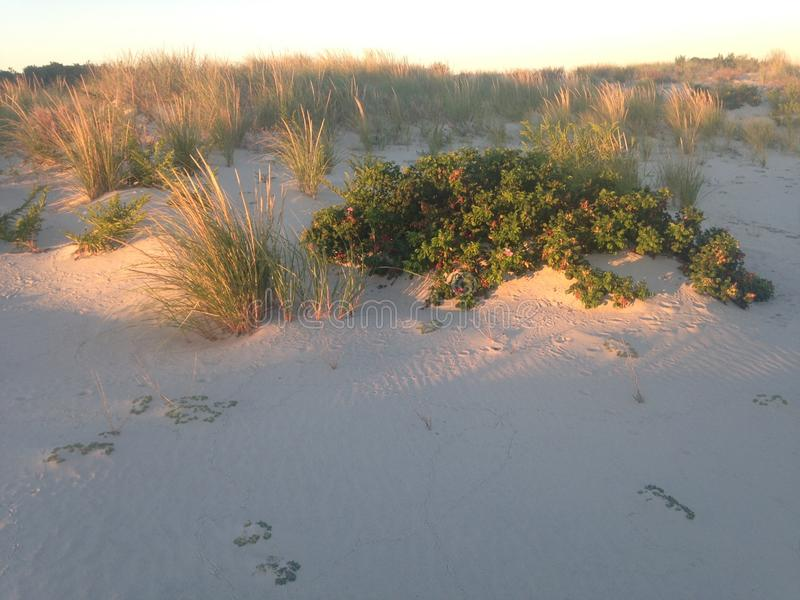 在尼克松海滩,长岛的玫瑰果布什 图库摄影