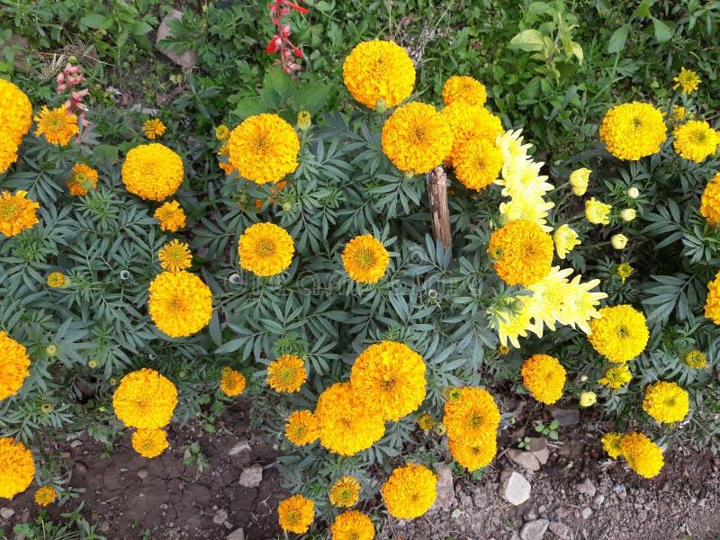 在尼泊尔的美丽的花 库存图片