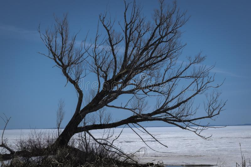在尼皮辛湖的树 库存图片