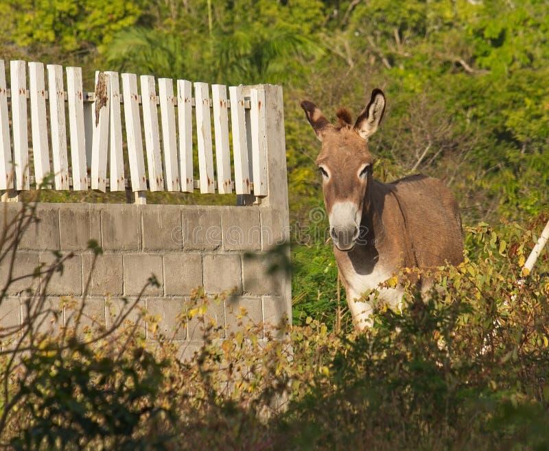 在尼维斯岛的野生驴 免版税图库摄影