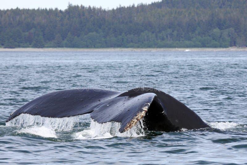 在尾标鲸鱼附近的阿拉斯加的驼背朱&# 免版税库存照片
