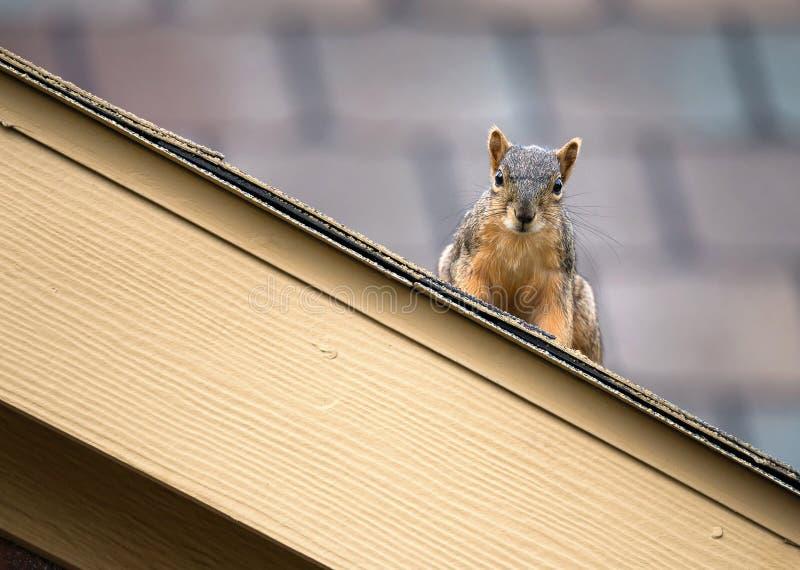 在屋顶上面的灰鼠 库存图片