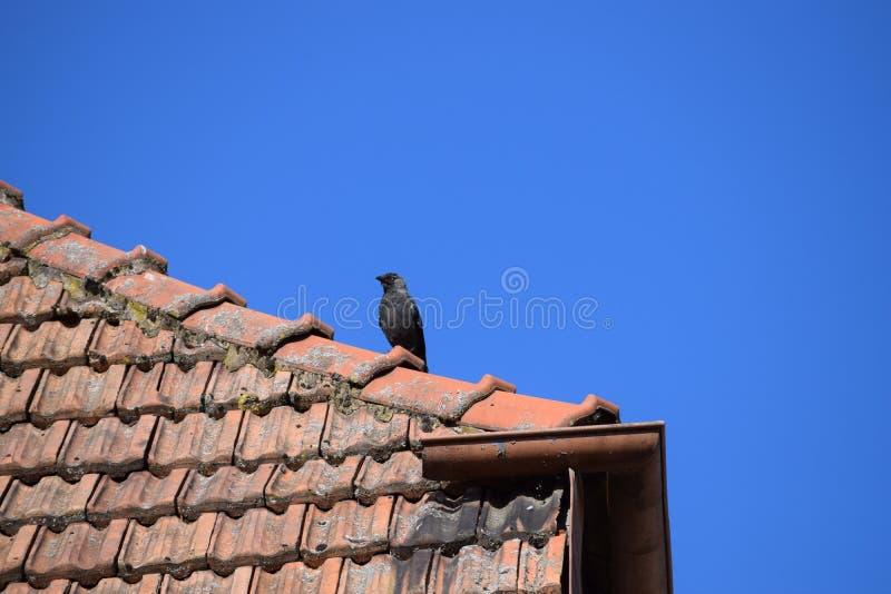 在屋顶壁架的寒鸦 库存照片
