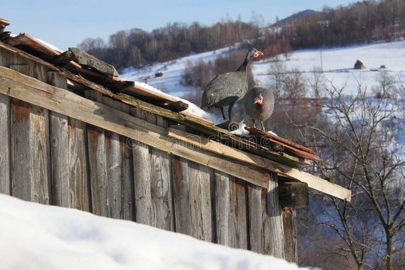 在屋顶栖息的珍珠鸡 免版税库存照片