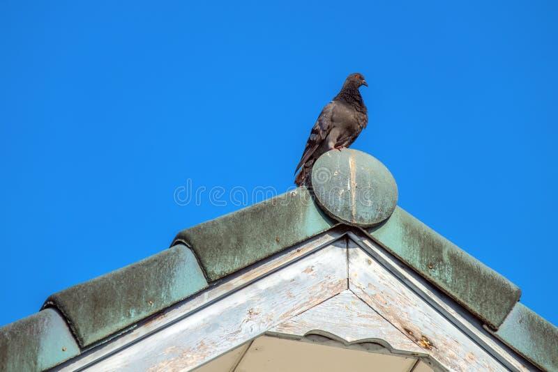 在屋顶温文地站立的鸠 免版税库存照片