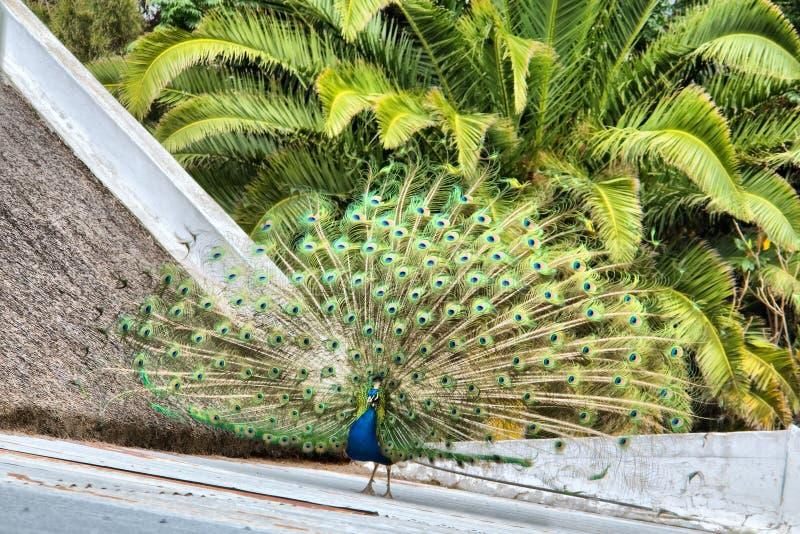 在屋顶的孔雀反对棕榈树 免版税库存照片