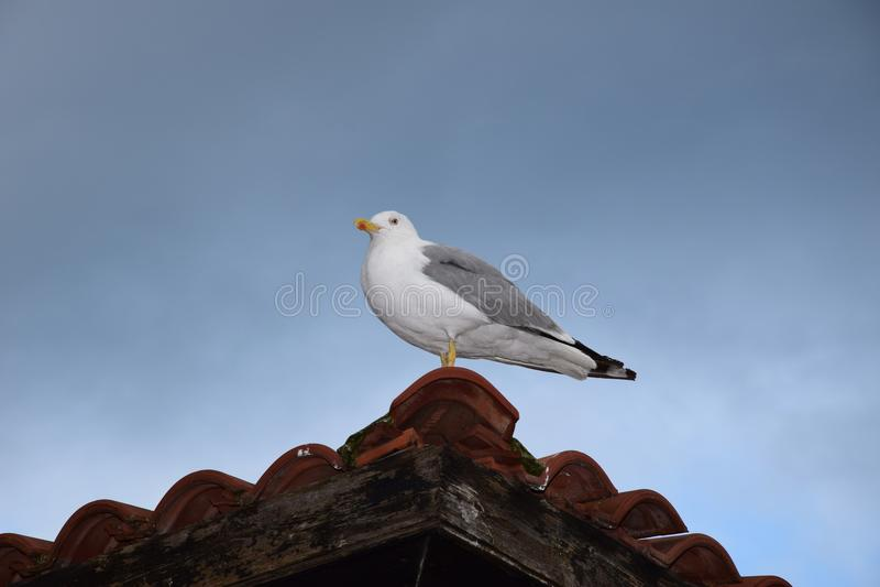 在屋顶的海鸥 免版税库存照片