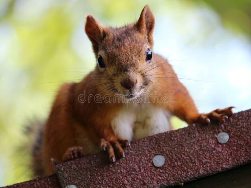 在屋顶的灰鼠 免版税库存照片