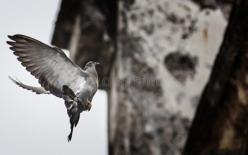 在屋顶的鸽子 图库摄影