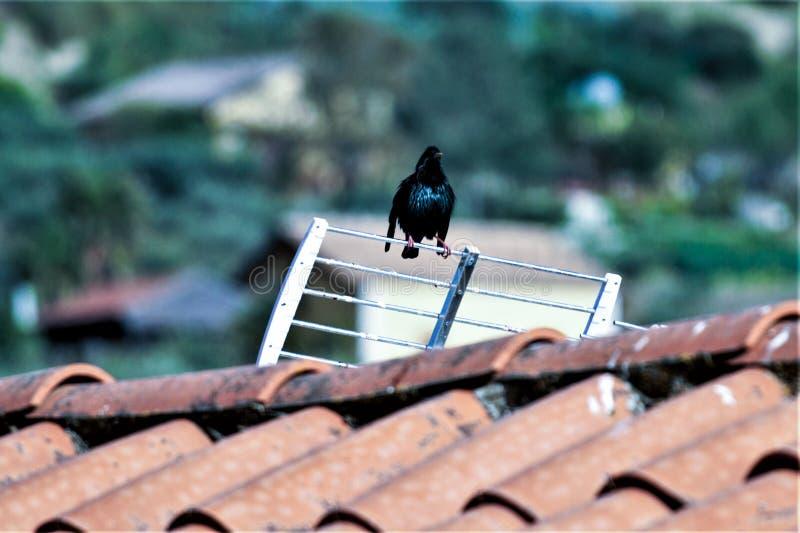 在屋顶的黑鹂 免版税库存图片