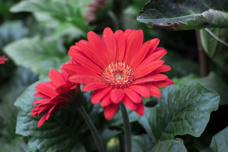 在展示的美丽的花向日葵 库存照片