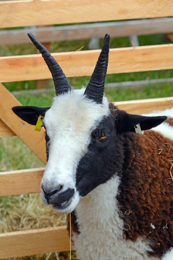 在展示笔的绵羊画象 免版税库存图片